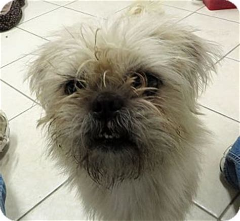 pug and cairn terrier mix american staffordshire terrier mix for adoption in middletown new breeds picture
