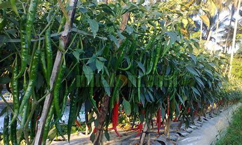 12 teknik sukses budidaya menanam cabai merah keriting agar buah lebat