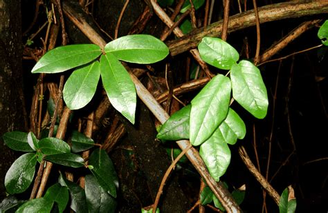 houseplant vine the sneaky life of the world s most mysterious plant
