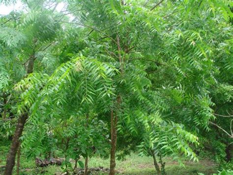 of tree complete information about neem tree eagriculture