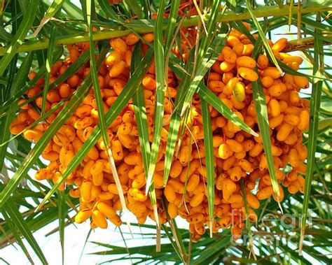 palm tree fruits edible 1000 images about my edible florida garden on