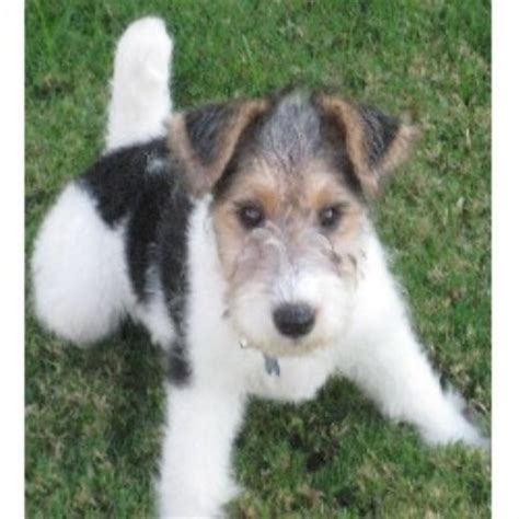 wire fox terrier puppies breeders wire fox terrier puppies for sale california breeds picture