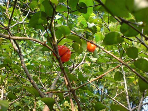 Bibit Dewandaru cv mitra bibit tanaman dewandaru antara legenda mitos