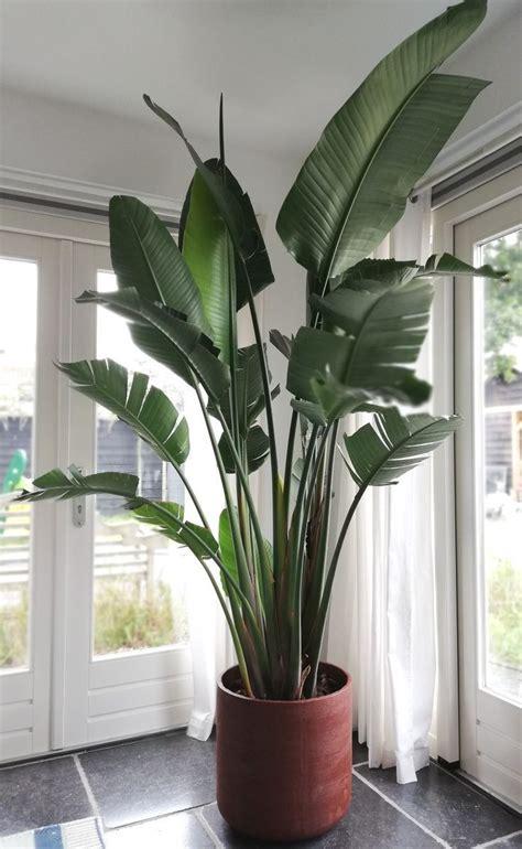 xxl strelitzia nicolai big indoor plants house plants