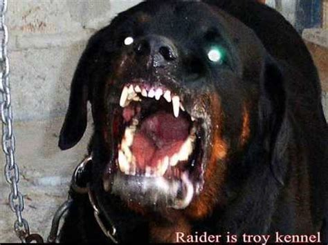 are rottweilers dangerous rottweiler attack