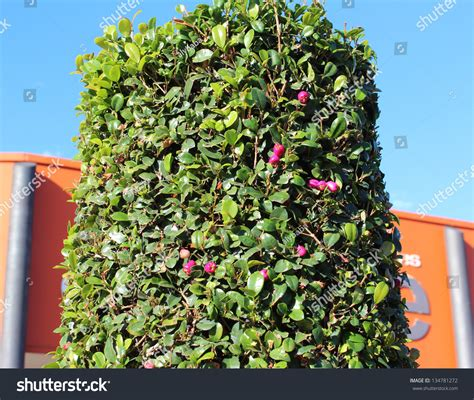 lilly pilly topiary australian lilly pilly tree syzygium luehmannii stock