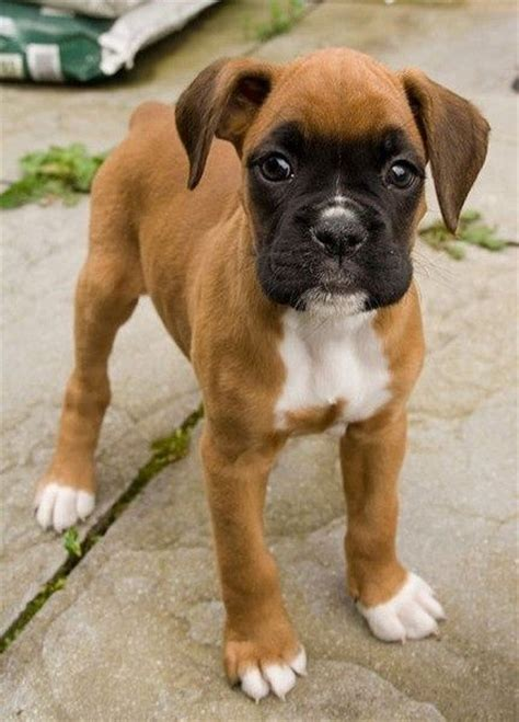 boxers puppies 12 reasons why you should never own boxers