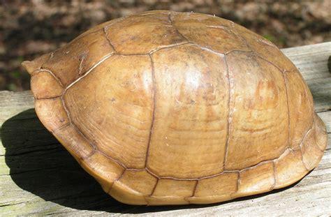 box turtle shell art supplies native american by skullbonesguy