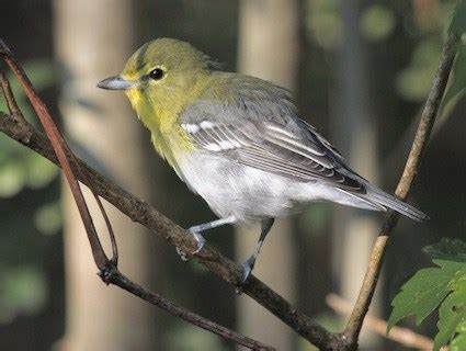 yellow throated vireo identification all about birds