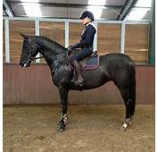 Black Stallions Jumping Easy Show Horse