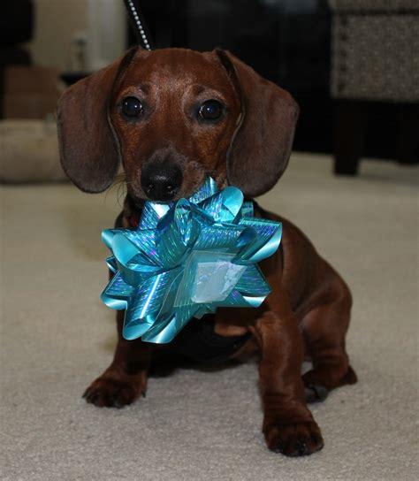 baby wiener dachshund puppy cutest baby weiner lover weiner dogs weiner