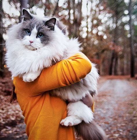 ragdoll cat size ragdoll kittens history temperament care and tips