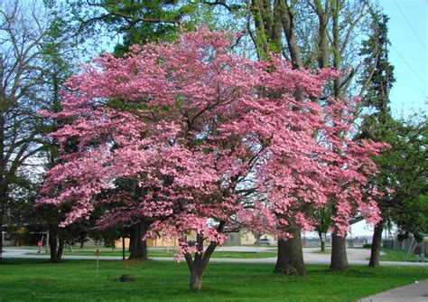 dogwood pink flowering affordable trees