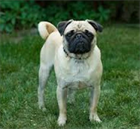 pug hip problems insurance australia keep your healthy and happy