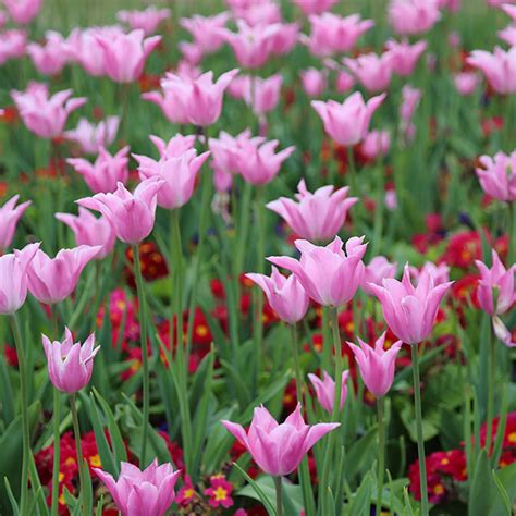 Seprei Tulip Pink 3 Uk 160x200 buy flowered tulip bulbs tulipa china pink delivery by crocus