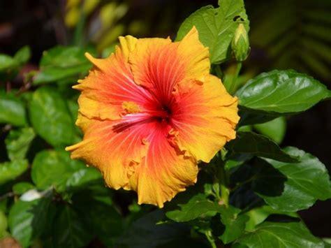 fiore ibiscus ibiscus piante da giardino come prendersi cura dell
