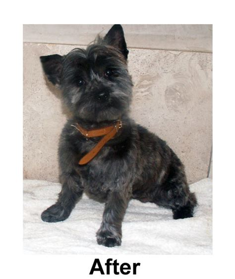 dog grooming cairn terrier penny cairn terrier after dog grooming dublin