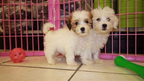 yorkie ton puppies for sale yorkie ton puppies for sale local breeders near atlanta ga at puppies for