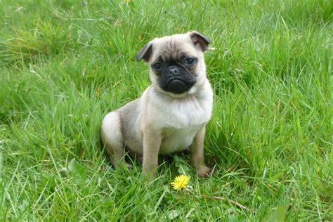 jug pug 3 4 pug puppies jug x pug carmarthen carmarthenshire pets4homes