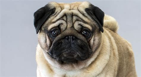 pug breed standard pug breed information american kennel club