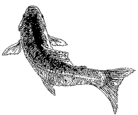Fish Drawings - U. S. Fish and Wildlife Service