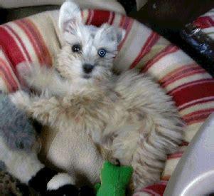 dreammaker yorkies teacup puppies for sale in autos post