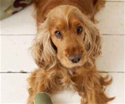 Sofa Choice Cocker Spaniel Dog Collar Dog Leads Cocker Spaniel Dog