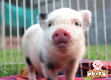 Resumen O Porco De Pe by Mini Pigs Las Mascotas M 225 S Adorables Revista Asia Sur