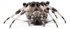 what do barn spiders eat huntsman spider