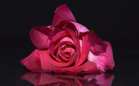 wallpaper 4k rose pink rose 4k 5k wallpapers hd wallpapers id 18713