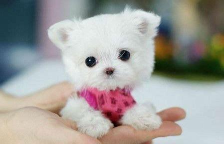 fotos de perros shih tzu miniatura perros enanos los perros m 225 s adorables fotos