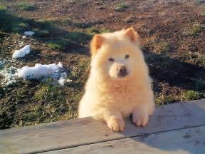 chow mixed with golden retriever 8 best golden chow images on doggies chow