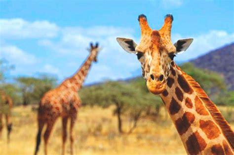 imagenes reales de jirafas 191 qu 233 comen las jirafas