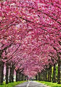 blossom tree 25 best ideas about cherry blossom tree on pinterest blossom trees japanese cherry blossoms