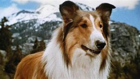 lassie puppies a history of animals lassie the border collie concord veterinary hospital