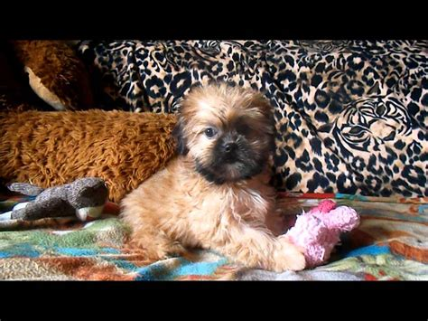 puppies for sale in tx shorkie puppies for sale in shorkie breeders