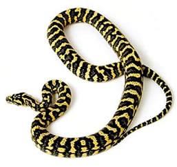 Do Jaguars Eat Pythons Carpet Python Facts Photos Information Care