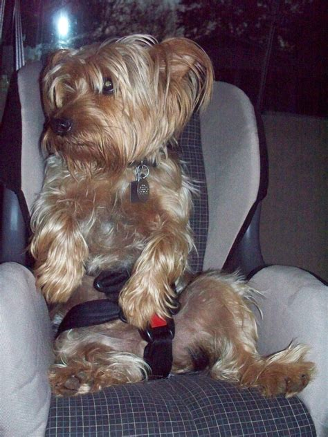 yorkie car seat a car seat noooo chasing squirrels with