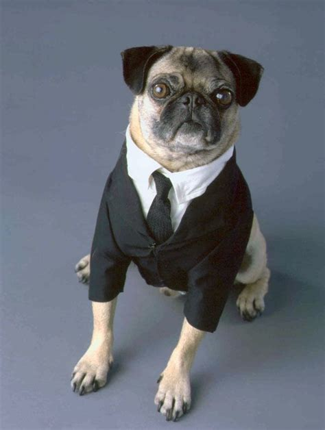 mib pug frank the pug in black