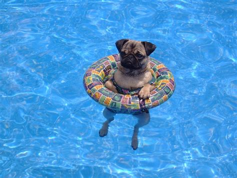 dog on boat quotes our pug when she was little taking a dip in the pool