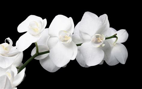 Wallpaper Bunga 545 orchid wallpapers wallpaper cave