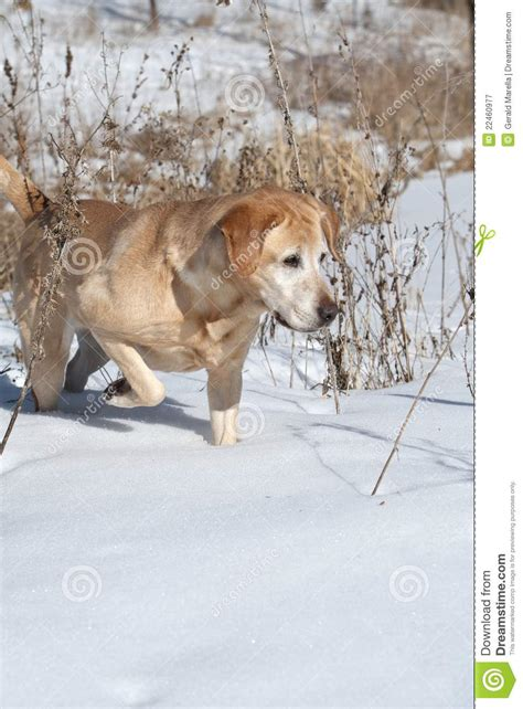 golden retriever pointing yellow labrador retriever pointing royalty free stock photography image 22460977