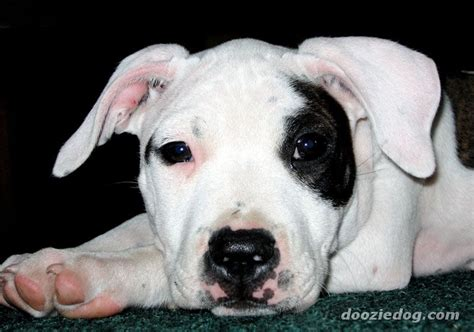 dogs that look like pit bulls breeds that look like pit bulls breeds picture