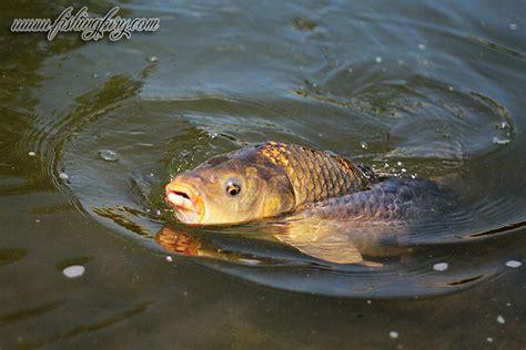 thames river ontario fishing carp fishing in london ontario fishing photo gallery