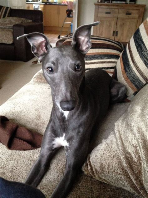 whippet for sale blue whippet for sale bishop auckland county durham pets4homes