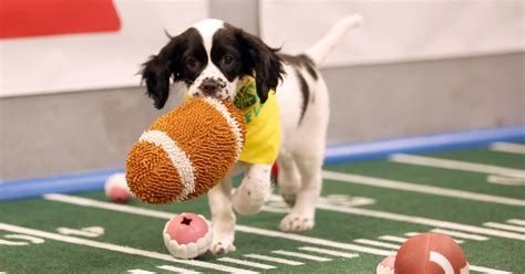 puppy bowl puppy bowl could bring new for houston shelter dogs