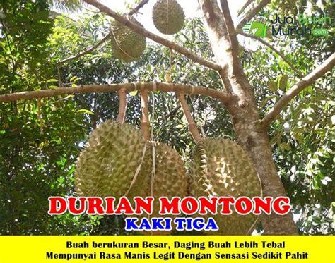 Bibit Durian Sitokong Kaki 3 durian montong kaki 3 unggul jualbenihmurah