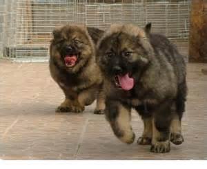 Caucasian shepherd dog for sale adoption from kuala lumpur adpost
