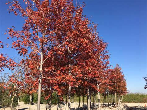 missouri maple trees trees st louis mo shade ornamental flowering