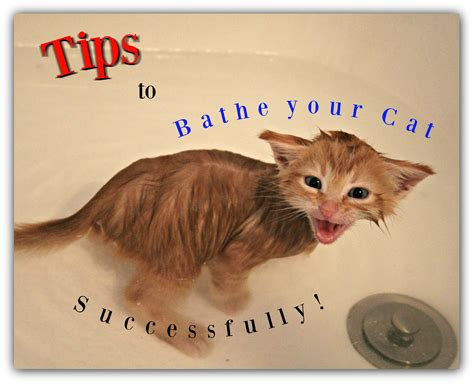 8 Tips On Bathing Your Feline by Tips To Bathe Your Cat Successfully Talks Paws
